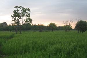 Ricefelds in Mahawilachchiya