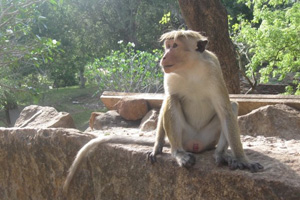 A monkey in Sigiriya