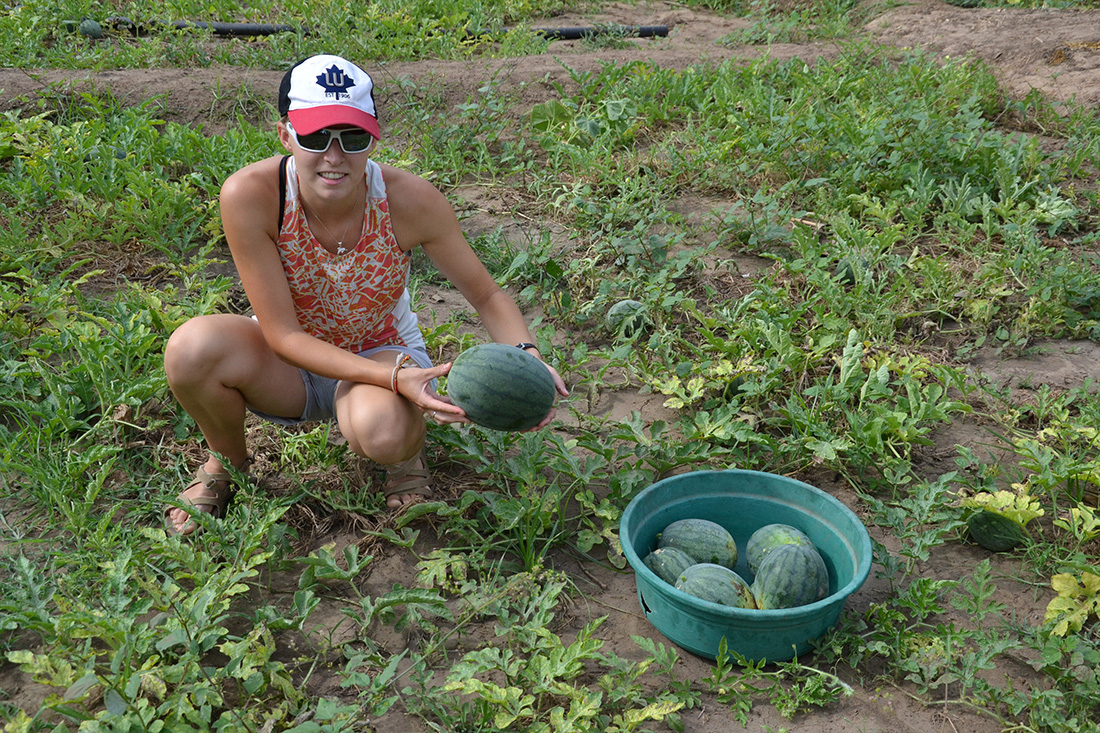 Picking watermelons in a local field
