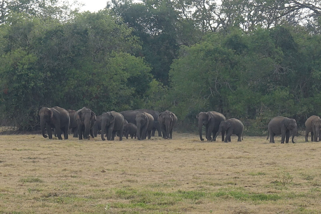 Wild elephants in Mahawilachchiya
