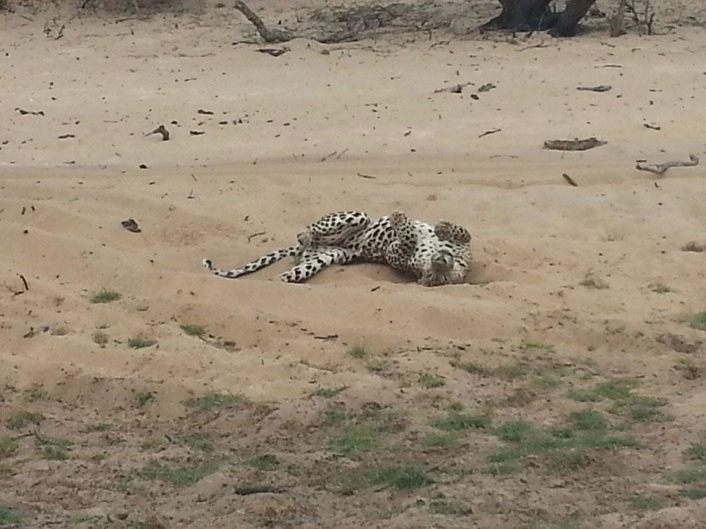 A leopard in Wilpattu National Park